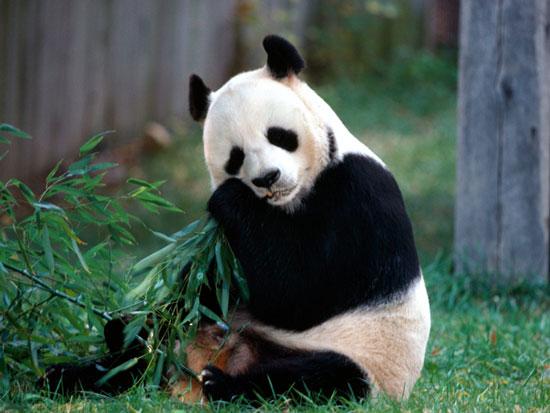 Trung Quốc sắp gửi gấu trúc cho Nhật Bản