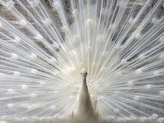 Ảnh đẹp về chim công trắng