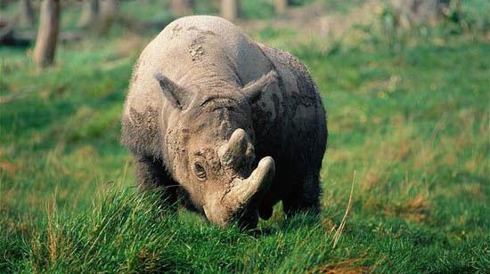 Việt Nam vĩnh viễn mất tê giác một sừng
