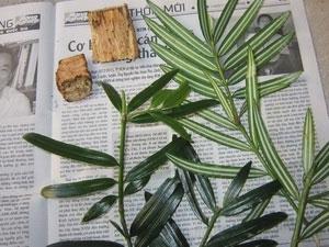 Phát hiện được quần thể cây hạt trần quý hiếm