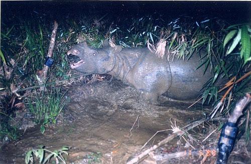 Video: Hành trình tê giác một sừng tuyệt chủng ở Việt Nam