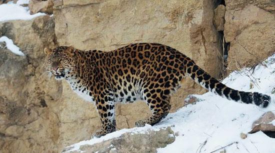 Báo Amur sống trong những khu rừng tuyết ở vùng viễn đông Nga. Các nhà khoa học cho rằng, chúng hiện chỉ còn 40 con do nạn săn trộm và khai thác gỗ.
