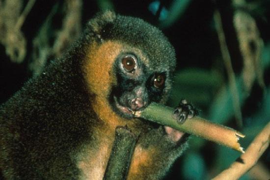 Còn khoảng 100 con vượn tre lớn sinh sống ở Madagascar. Chúng đang bị đe dọa bởi nạn săn bắt của con người và mất đi môi trường sống.