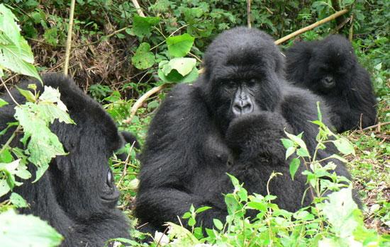 Khỉ đột núi. Còn khoảng 700 con vẫn còn sống ở phía đông Trung Phi. Loài này đang trên bờ tuyệt chủng do chính sách bất ổn của chính phủ nước này.