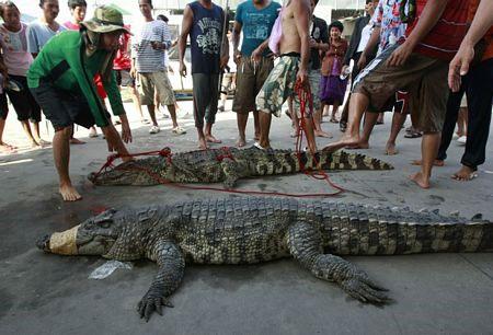 Hãi hùng cảnh cá sấu sổng chuồng trong lũ ở Thái Lan