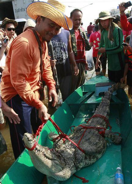 Các quan chức và người dân tại quận Bangbuatong đã bắt được 8 con cá sấu đi hoang hồi cuối tuần qua trên một con đường bị ngập.