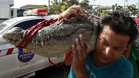 Giới chức cũng tuyên bố thưởng 1.000 bath (khoảng 32USD) cho mỗi con cá sấu bị bắt sống.