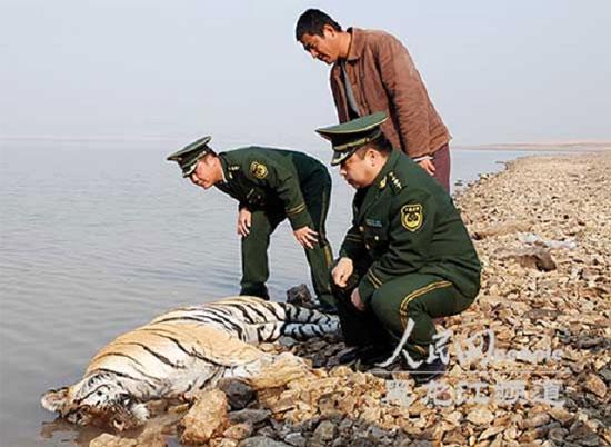 Con hổ Siberi chết cạnh bờ sông.