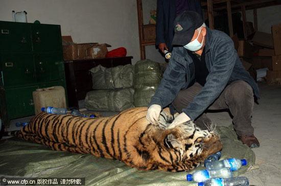 Các chuyên gia động vật hoang đang điều tra nguyên nhân cái chết của con hổ quý