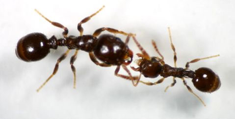 Một con kiến chủ nô (trái) đang đòi một con kiến thợ nô lệ cống nạp thức ăn.