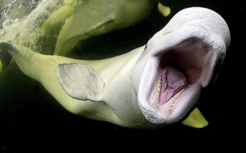Một con cá voi trắng đột nhiên há miệng rộng và lao về phía nhiếp ảnh gia.