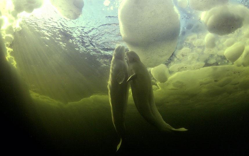 Ảnh động vật tuần qua: Đôi cá voi trắng quấn quýt bên nhau