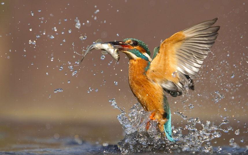 Một con chim bói cá vọt lên khỏi mặt nước với chiến tích vừa thu được của mình.