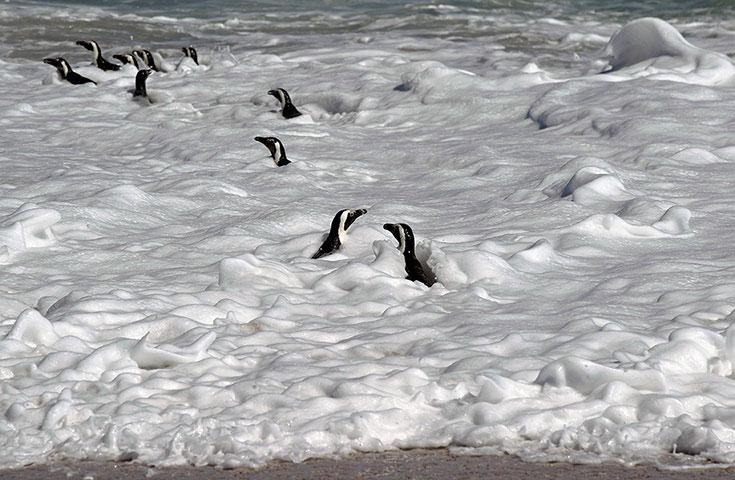 Những con chim cánh cụt tỏ ra rất sung sướng khi được trở lại đại dương. Chúng vừa được Quỹ bảo tồn chim biển Nam Phi cứu trợ sau khi nhiễm dầu tràn trên biển.