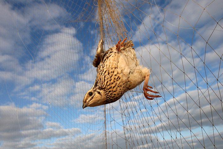Một con chim cút bị mắc lưới trên đường di cư.