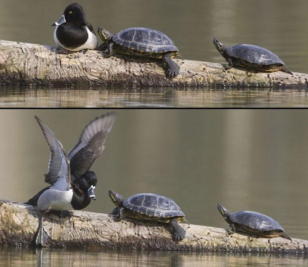 Cuộc chiến tranh giành khúc gỗ của một con vịt và 2 con rùa con. Kết quả là 2 con rùa đã phải lùi bước và nhảy xuống nước.