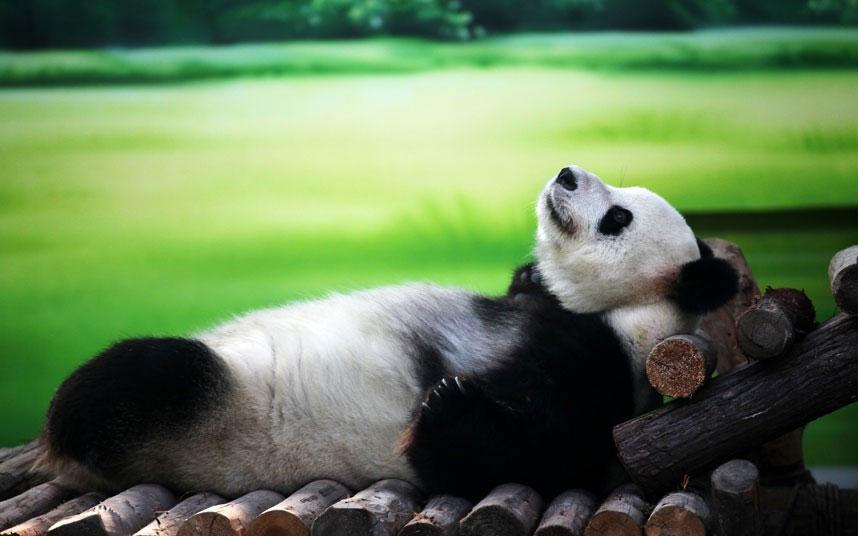Tại công viên Wetland (Trung Quốc), chú gấu trúc 10 tuổi Xin Yue đang khoan khoái tận hưởng bầu không khí trong lành.