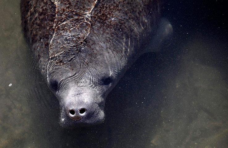 Một con lợn biển tên Lil Joe vừa được cứu tại con sông gần Orlando, Florida (Mỹ) sau khi mắc bẫy. Đây là lần thứ 2 chú lợn biển 23 năm tuổi này được cứu sống.