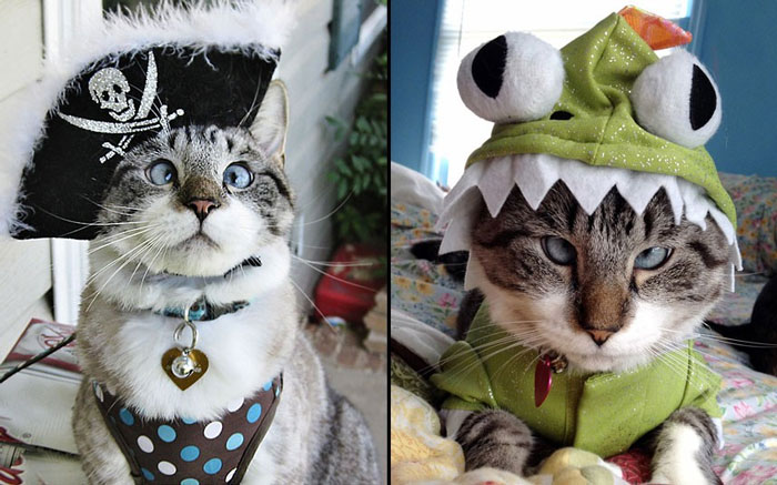 Chú mèo Spangles gây sốt trên internet sau khi chủ nhân của nó đăng tải các bức ảnh Spangles diện những bộ trang phục hết sức độc đáo. Hiện đã có cả một trang Facebook dành cho những người hâm mộ Spangles.
