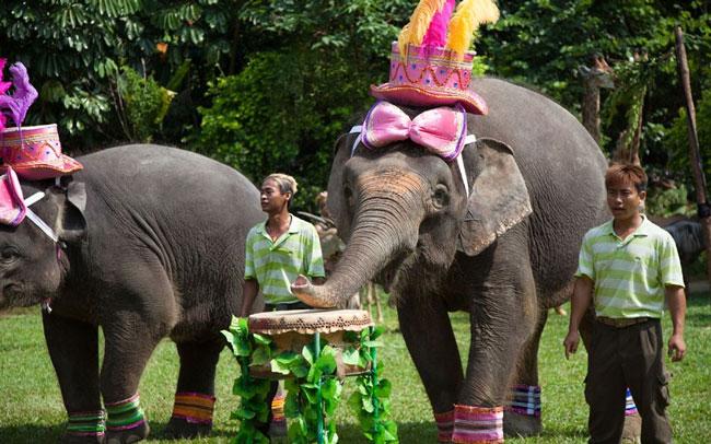 Những con voi tham gia vào dàn đồng ca cho động vật tổ chức tại vườn thú Xiang Jiang (Trung Quốc). Chúng có nhiệm vụ đánh trống và rung chuông.