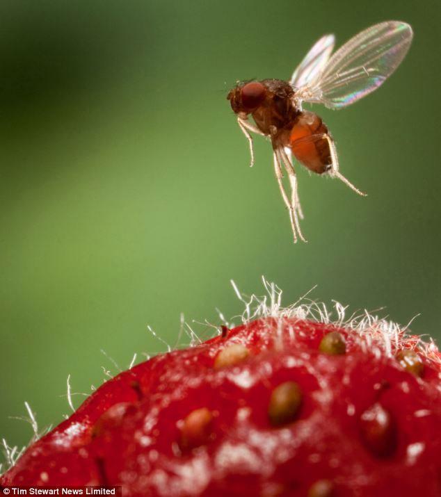 Ngành công nghiệp trái cây ở Anh bị ruồi giấm tấn công