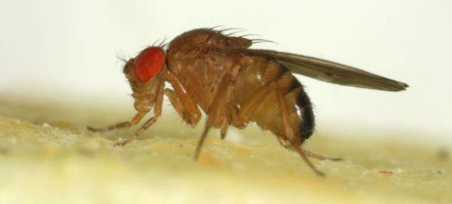 Có rất nhiều các loại hoa quả khác bị ruồi giấm đục khoét như nho, anh đào, mận, cà chua...