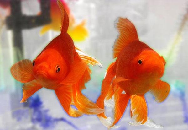 Cá nước mặn có thể sống trong nước ngọt?