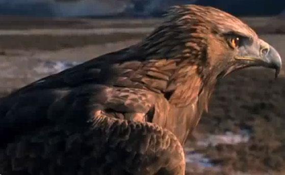 Video: Đại bàng săn thỏ