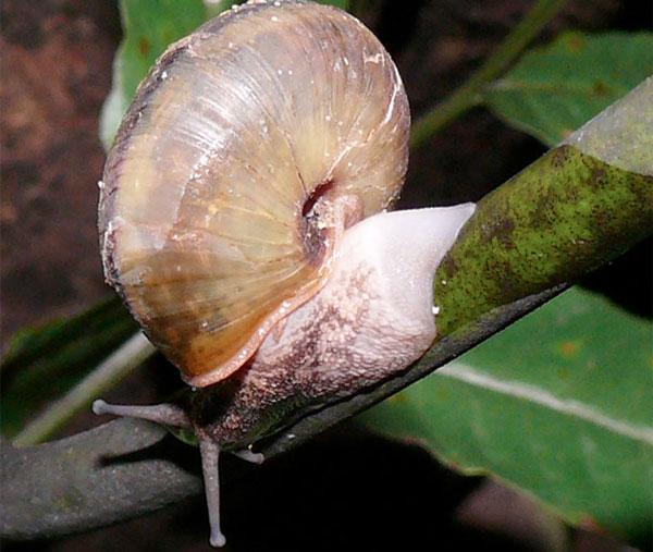 Nhật Bản công bố phát hiện mới về loài ốc sên lạ
