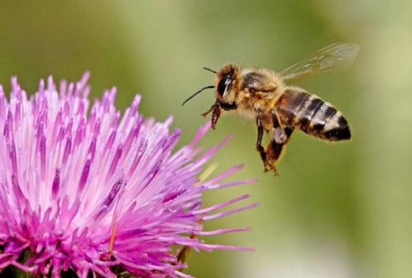 Nghiên cứu não ong để phát triển các robot tự bay