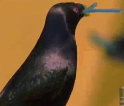 Video: Chim lấy cắp đồ vật để cưa gái