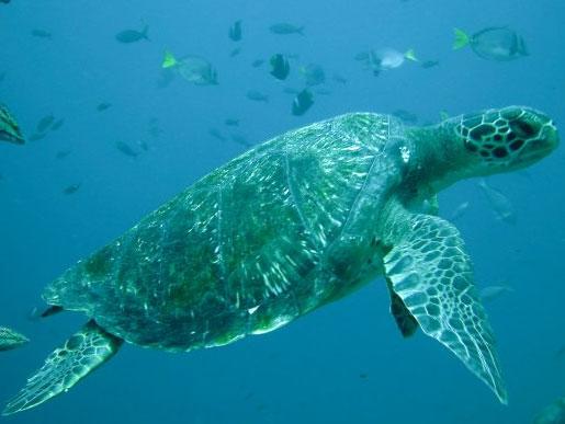 Video: Cuộc chiến giành vợ của rùa biển
