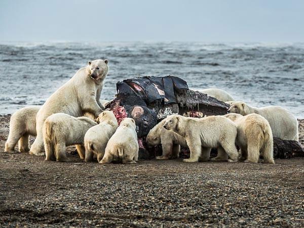 Gấu Bắc cực cùng đánh chén đầu cá voi do thợ săn Inupiat để lại.