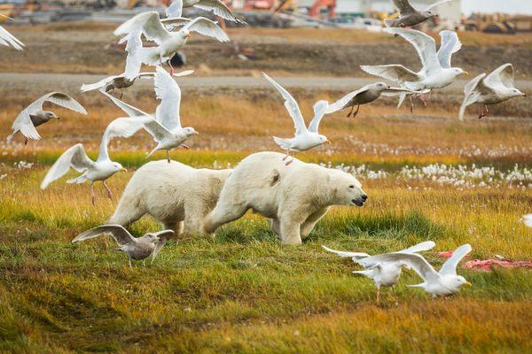 Xác cá voi do thợ săn để lại thu hút khoảng 80 chú gấu tới làng mỗi ngày.