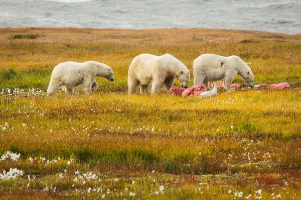 Gấu Bắc cực và hải âu tiến về phía nơi có xác cá heo tại Kaktovik (Alaska).