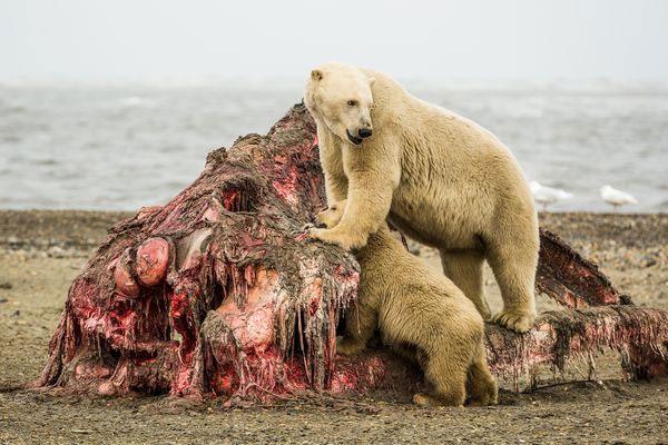 Những gì còn lại của đầu cá voi sau khi bị gần 20 chú gấu xâu xé.