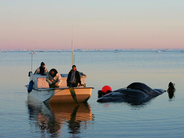 Thợ săn Inupiat săn bắt cá voi theo cách truyền thống.