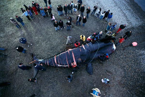 Dân làng Kaktovik mổ xẻ cá voi vừa săn được.