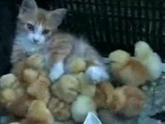 Video: Mèo mẹ chăm sóc đàn gà con