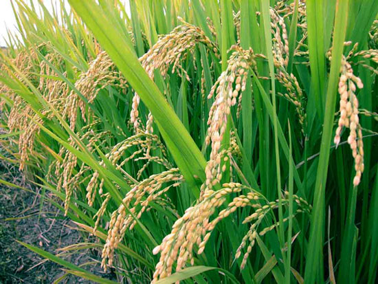 Công bố bản đồ hoàn chỉnh biến thể gene của cây lúa