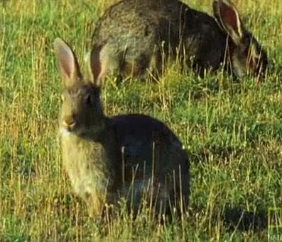 Video: Chồn nhảy điên dại thôi miên thỏ
