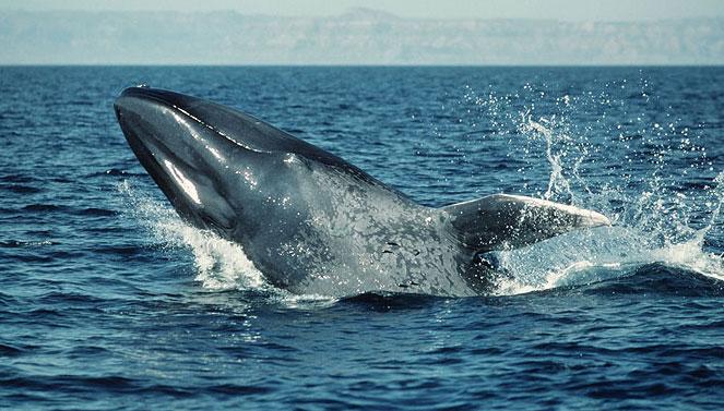 Dùng công nghệ quân sự theo dõi cá voi xanh
