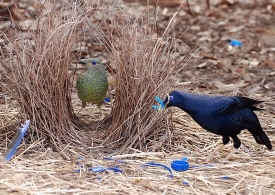 Chim tổ lều biết trồng cây lấy quả để làm tổ