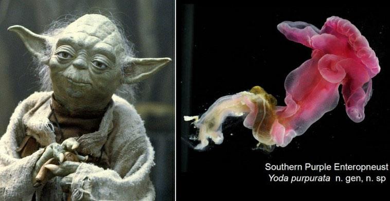 Sâu Yoda