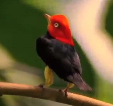 Video: Chim nhảy giật lùi như Michael Jackson