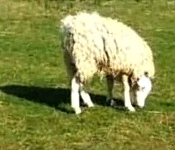 Video: Cừu có đầu lộn ngược