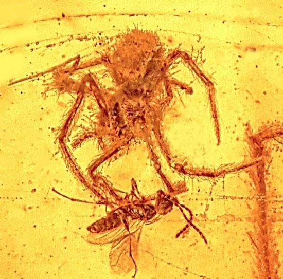 Hoá thạch nhện tấn công ong bắp cày