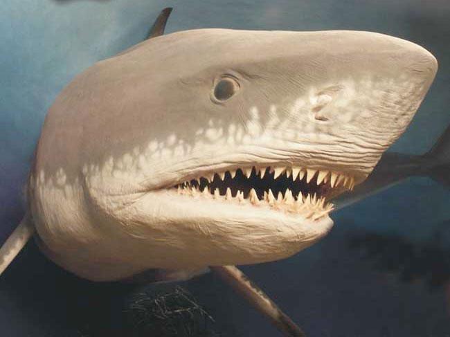 Cá mập megalogon