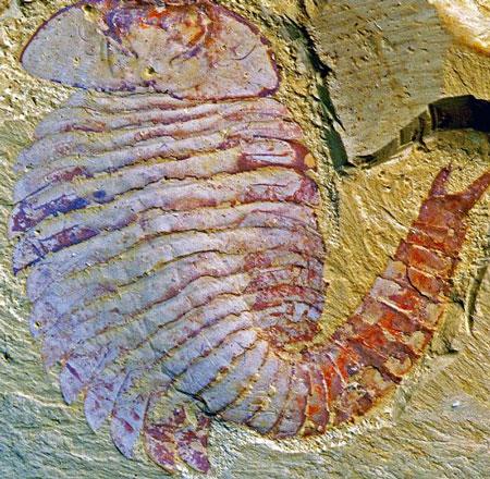 Phát hiện côn trùng 500 triệu tuổi đã có não