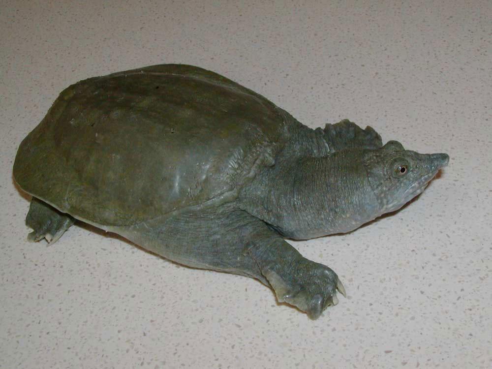 Rùa mai mềm Trung Quốc Pelodiscus sinensis